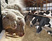 Sheep & Cattle Export